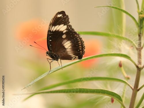 Fotobehang Vlinder kelebek kelebekler siyah kanat zerafet hayvan alem