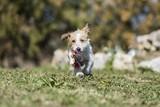 cute terrier dog running on grass
