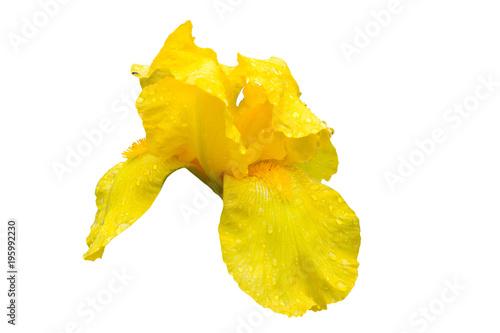 Fotobehang Iris flower iris yellow isolated