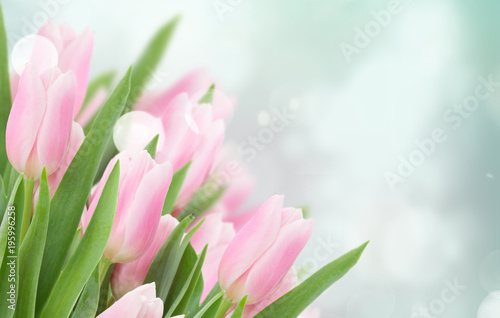 bliska różowe tulipany