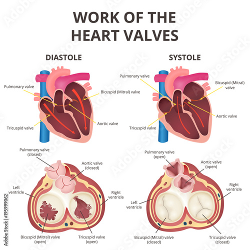 Anatomy Of The Human Heart Buy Photos Ap Images Detailview