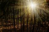 beautiful bamboo grove