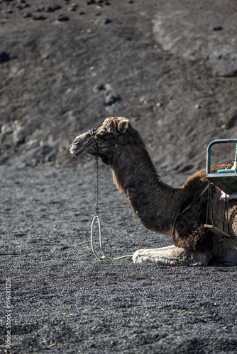 Fotobehang Kameel Camels carrying tourists, Lanzarote, Canary Islands.