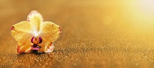 Web banner or greeting card idea of a golden yellow orchid flower with blank, copy space © Reddogs
