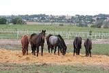 Fototapeta Horses - A drove of horses in a pasture © E-lona