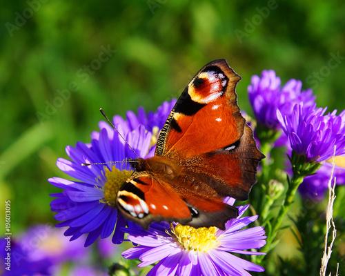 Fotobehang Vlinder Tagpfauenauge beim Blütenbesuch
