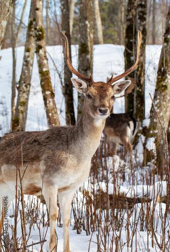 Foto op Canvas Natuur Young maral deer.
