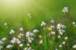 White wild flowers and green grass.