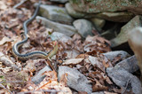 Snake rising and flicking tongue; in rocks viewed from front - 196016655