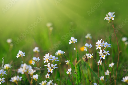 Fototapeta White wild flowers and green grass.