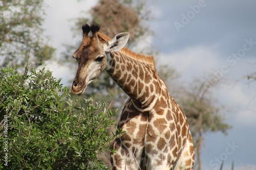 Fototapeta Giraffee