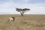 African landscape with lion and acacia tree