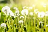 Spring dandelions background