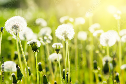 Spring dandelions background