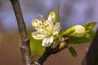 Leinwanddruck Bild - Blume Baum Jahr Lenz Birne Weiss Bluete im Garten Frueh