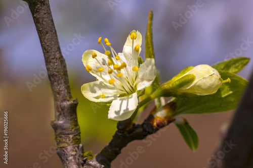 Leinwanddruck Bild Blume Baum Jahr Lenz Birne Weiss Bluete im Garten Frueh