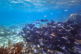 Shoal of fishes in the Caribbean Sea of Mexico