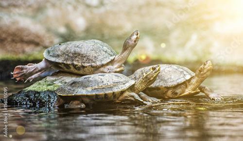 Aluminium Schildpad Turtles are heated on stone, sun rays