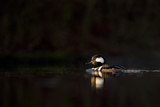 A male Hooded Merganser swims on a calm pond in the morning sun with a black foreground and background.
