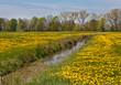 Wiese mit unzähligen gelben Löwenzahn-Blüten, durch die ein Graben fließt