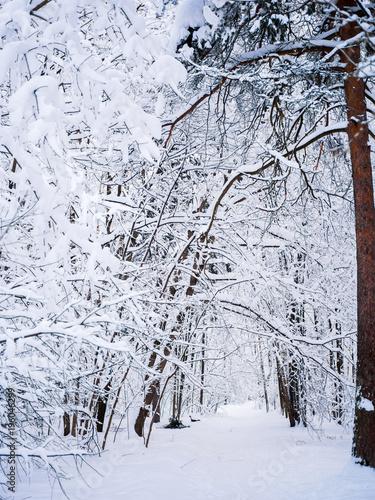 Plexiglas Berkenbos Picturesque picture of winter landscape in woods