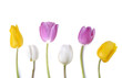 colorful and pretty tulips standing  on white background  - 196054620