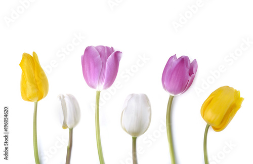 colorful and pretty tulips standing on white background