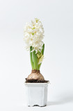 Beautiful and fresh hyacinth of white color in a pot on a white background - 196067041