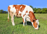 Portrait of young red and white spotted cow. Cow full length close up. Cow grazing on the farm meadow