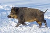 Wild boar shot in a snow-covered winter forest. - 196073203