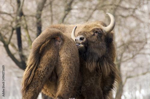 Wall mural European Bison, Bison bonasus, Visent, herbivore in winter, herd, Slovakia