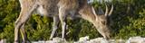 Detail of grazing female iberian ibex at parc natural los puertos de beceite
