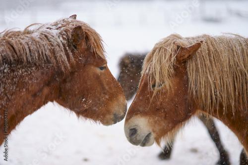 Fotobehang Paarden 冬の道産子