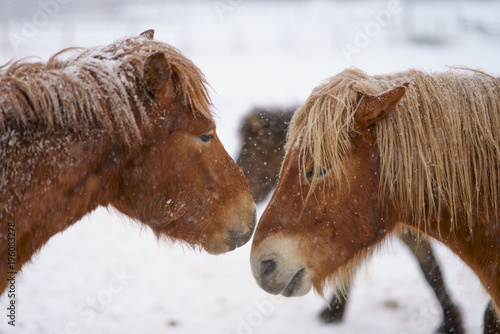 Aluminium Paarden 冬の道産子