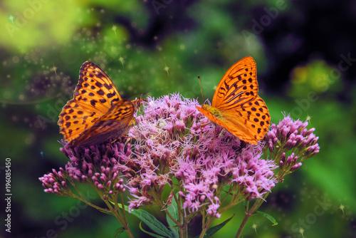 dwa duży piękny pomarańczowy motyl na duży fioletowy kwiat
