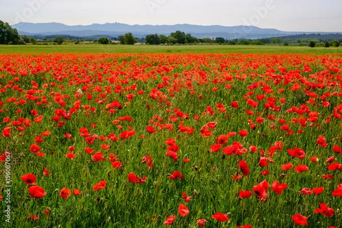 Fotobehang Klaprozen Champ de coquelicots au printemps, Provence.