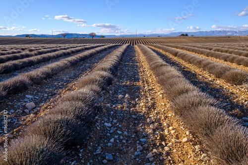 Fotobehang Lavendel Champ de lavande en hiver. Plateau de Valensole, France, Provence.