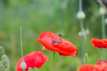 Red poppy flower on a green background