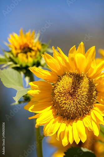 Bright yellow Vincent fresh sunflower Helianthus annuus