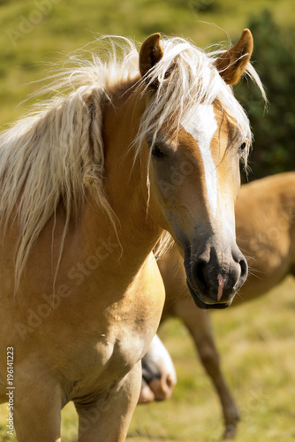 Portrait of a White and Brown Horse