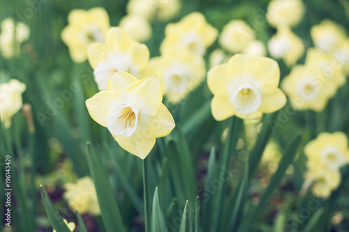 Flowers of daffodils blossom in the spring