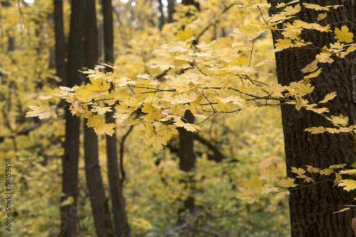Melon Autumn deciduous forest.