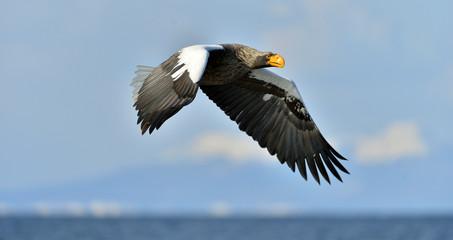 Steller's sea eagle in flight. Adult Steller's sea eagle (Haliaeetus pelagicus).