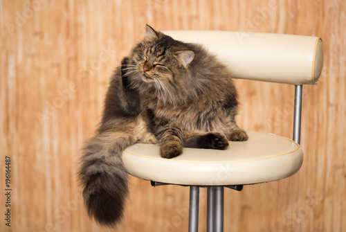 Fotobehang Kat Portrait of a furry cat Maine Coon