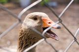Goose in the bird yard (farm). Concept of animal husbandry, household, organic meat, village life - 196165002