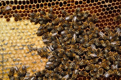 Fotobehang Bee Пчелы на рамке с медом в улье.