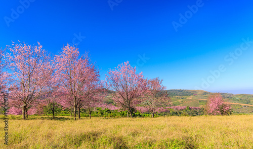 Plexiglas Thailand The beautiful Wild Himalayan Cherry in natural meadow on highland in Thailand.