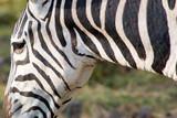 Close-up of a zebra in a national park in Kenya, Africa.