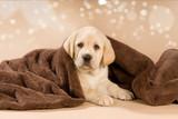 Labradorwelpe mit Decke auf braunem Hintergrund - 196172279