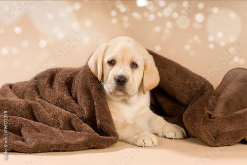 Labradorwelpe mit Decke auf braunem Hintergrund